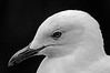 Birds of Australia - Birds photographed within Australia both wild and in captivity, Native and Non-native