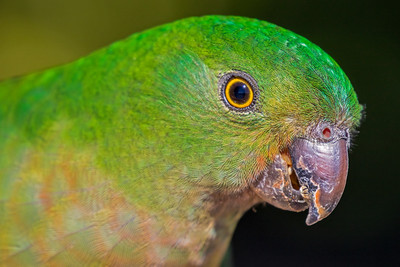 King Parrot female (1)