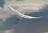 Intermediate Egret (5)