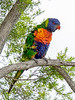 Rainbpow Lorikeet