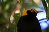 Regent bower bird (2)