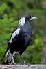 Australian Magpie (5)