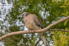 Spotted Dove (1)