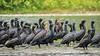 Cormorant Colony (1)