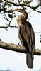 Snakebird Australian Darter (2)
