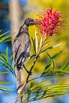 Noisy Friarbird feeding on Grevillea nectar (1)