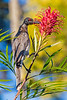 Noisy Friarbird feeding on Grevillea nectar (1)