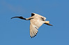 Australian White Ibis (5)