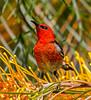 Scarlet Honeyeater (6)
