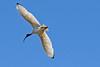 Australian White Ibis (4)