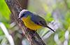 Eastern Yellow Robin (4)