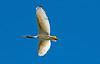 Australian White Ibis (3)