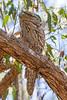 Tawny Frogmouth (8)