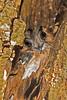 Australian Owlet - Nightjar (1)