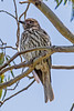 Australasian Figbird female (1)