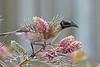 Noisy Friarbird 5