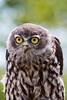 Juvenile Barking Owl (2)
