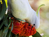 Sulphur Crested Cockatoo Feeding