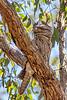 Tawny Frogmouth (6)