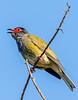 Australasian Figbird 1