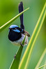 Superb Fairy Wren male (5)