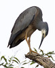 White Faced Heron (5)