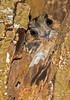 Australian Owlet - Nightjar (2)