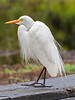 Intermediate Egret - Breeding Plumage (3)