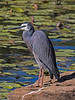 White faced Heron (1)