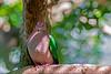 Emerald Dove (2)