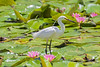 Little Egret (6)