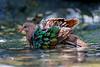 Emerald Dove (4)