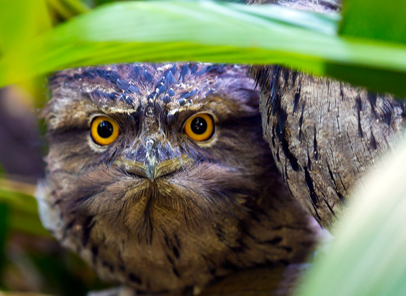 Peek-a-booTawny Frogmouth (2)