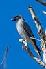 Black faced Cuckoo Shrike (4)