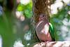 Emerald Dove (3)