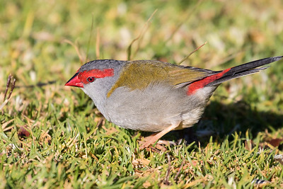 red browed finch (3)