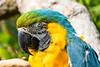 Macaw (3)