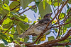 Australasian Figbird female (2)