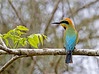 Rainbow Bee Eater (4)
