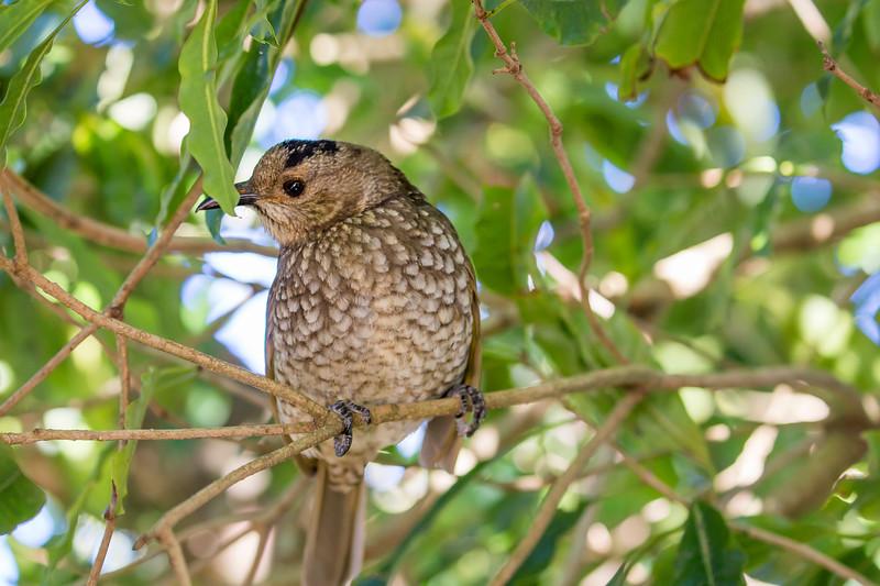 Regent bower bird  female