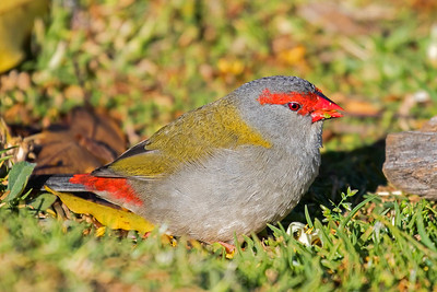 red browed finch (1)