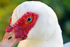 Muscovy Duck Female