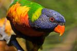 Rainbow Lorikeet (5)