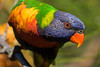 Rainbow Lorikeet (5)