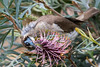 Little Friarbird (3)