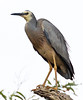 White Faced Heron (12)
