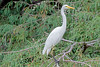 Intermediate Egret (10)