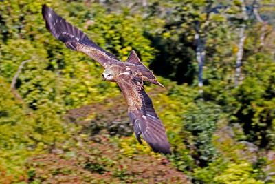 sea eagle (3)