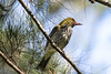Olive Backed Oriole (2)