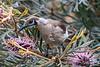 Little Friarbird (2)